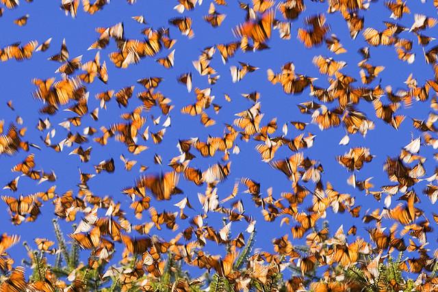 Protecting Monarch Butterflies... Monarchs