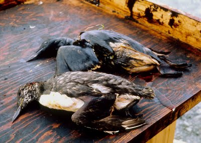 Oil spill birds