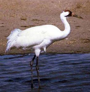 The Whooping Crane population has recovered in large part due to being designated as endangered