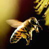 Image of honey bee flying